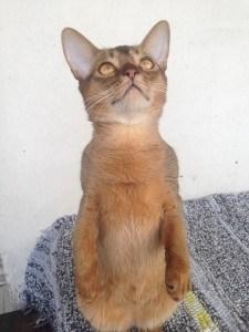 Абиссинский котик. САО.