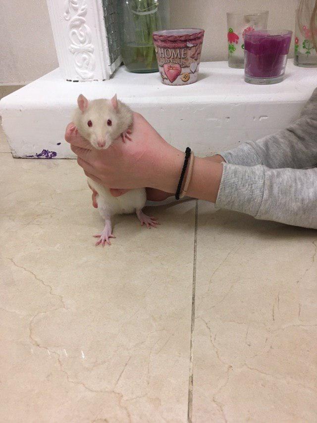 Две крыски Дамбо, мальчики