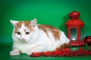 Кот Степашка, с рыжей бабочкой на мордочке