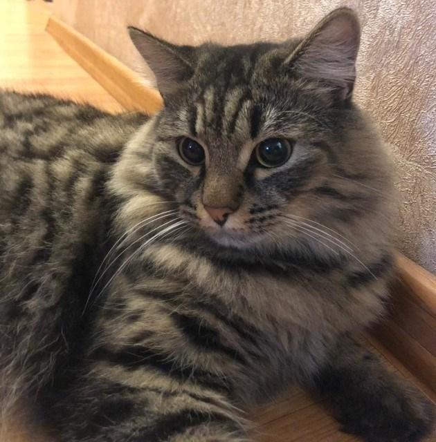 Пушистый красавец по имени Мурчик! Шикарный сибирский кот в дар. (Москва и МО)