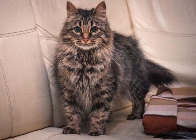 Трюкачка Жозефина! Настоящая цирковая кошка в дар. (Москва и МО)
